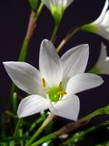 White Lily close up beauty ligth. Lilium members of which are true lilies is a genus of herbaceous flowering plants growing from bulbs, all with large prominent Royalty Free Stock Images