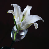 White lily Royalty Free Stock Photo