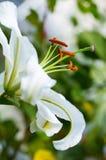 White lily Stock Photo