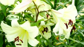 White Lily close-up stock video
