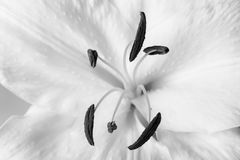 White lily close-up macro shot in studio on pastel background de. White lily close-up macro shot in a studio on pastel background desaturated Royalty Free Stock Image