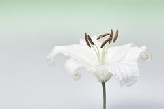 White lily close-up macro shot in studio on pastel background de. White lily close-up macro shot in a studio on pastel background desaturated Royalty Free Stock Photography