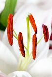 White Lily. close up. Photographed close up of a white lily Royalty Free Stock Image