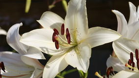 White lily stock video footage