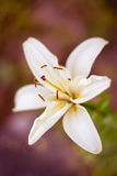 White lily closeup against bokeh. Concept of purity Stock Images
