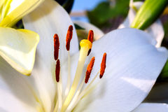 White lily closeup Royalty Free Stock Photography