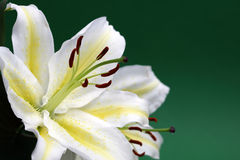 White lily with copy space. Japanese lily in full bloom on a green background with copy space Stock Images