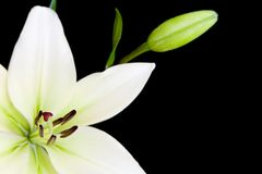 White lily with copy space royalty free stock image