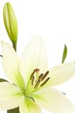 White lily with copy space. White lily isolated against a white background with copy space Royalty Free Stock Photography