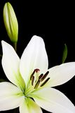 White lily with copy space. White lily, Liliaceae lilium, isolated against a black background with copy space Royalty Free Stock Photo