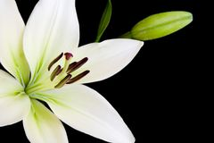 White lily with copy space Royalty Free Stock Photos