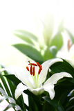 White lily with copyspace. Stock Image