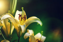 White lily by CU at sunset Royalty Free Stock Photos