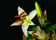 White lily on dark background Stock Photography