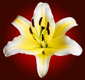 White Lily Details Stock Images