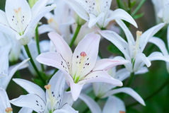 White lily Royalty Free Stock Photos