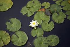 White lily floating on a pond. White lily and the green leaves floating on a pond blue water at summer top view Stock Image