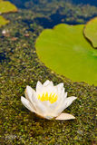 White lily floating on water and duckweed as background Stock Photography