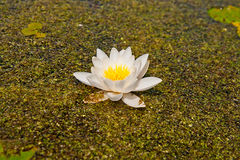 White lily floating on water and duckweed as background Royalty Free Stock Image