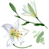 White lily floral botanical flowers. Watercolor background illustration set. Isolated lilies illustration element. vector illustration