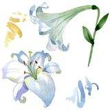 White lily floral botanical flowers. Watercolor background illustration set. Isolated lilies illustration element. royalty free illustration