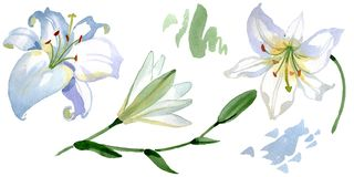 White lily floral botanical flowers. Watercolor background illustration set. Isolated lilies illustration element. stock illustration