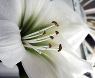 White Lily flower Stock Photos