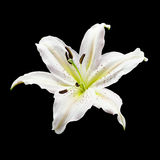 White lily flower. On black background Stock Image