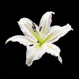 White lily flower. On black background Stock Image
