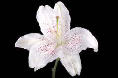 White lily flower Stock Images