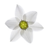 White lily flower. Beautiful of white lily flower isolated on white background.Closeup Stock Photo