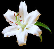 White Lily flower on black. White Lily Flower with leaves isolated on black with clipping path Stock Photo