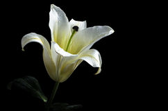 White lily flower on black background Clipping path included. Stock Photo