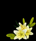 White lily flower on a black background Stock Image