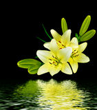 White lily flower on a black background Stock Photography
