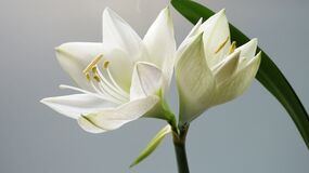 White lily flower in bloom