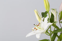 White lily flower in bloom isolated on a grey background Royalty Free Stock Images