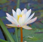 White lily flower. Is blooming in the pond water. very natural  and beautiful view Royalty Free Stock Photography