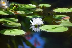 Free White Lily Flower Blossom On Blue Water And Green Leaves Background Close Up, Beautiful Waterlily In Bloom On Pond, One Lotus Royalty Free Stock Photo - 152030705