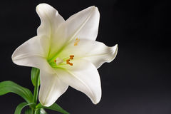 White lily flower blossom over black background. Condolence card Stock Photos