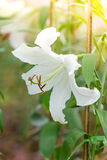 White lily flower Royalty Free Stock Photos