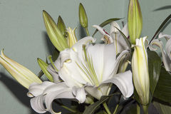 White lily. Flower close up in the shunshine Royalty Free Stock Photography