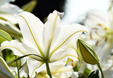 White lily flower Stock Photography
