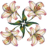 White lily flower, color pencil, illustration Royalty Free Stock Photo