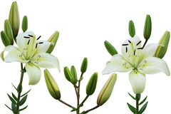 White Lily Stock Photos