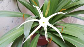 White lily flower with green leaf royalty free stock photography