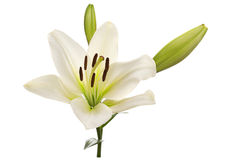 White lily flower head Royalty Free Stock Image