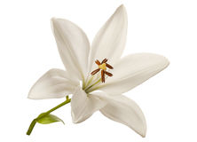 White lily flower royalty free stock images