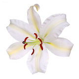 White Lily Flower isolated Royalty Free Stock Photos