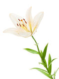 White lily flower. Isolated on white background Stock Photo